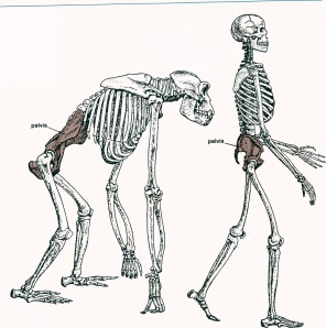 let's twist again: human and chimp hips compared - filthy monkey men, Skeleton