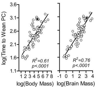 Relationship between brain size and length until weaning