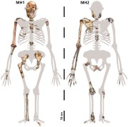 The juvenile (left) and adult (right) Australopithecus sediba which were analysed in this study
