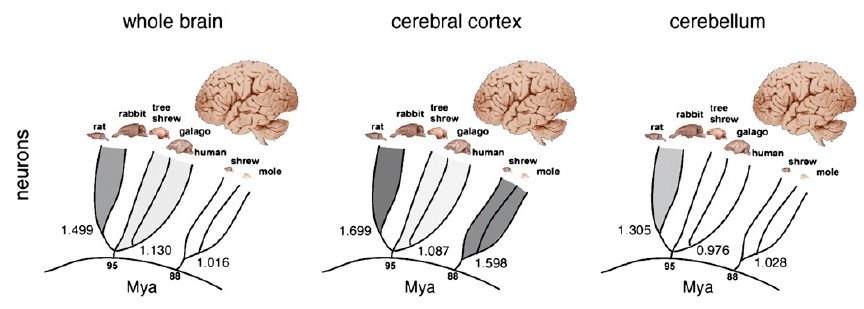 The relationship between brain size and number of neurons