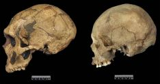 A Neanderthal and a human skull side by side