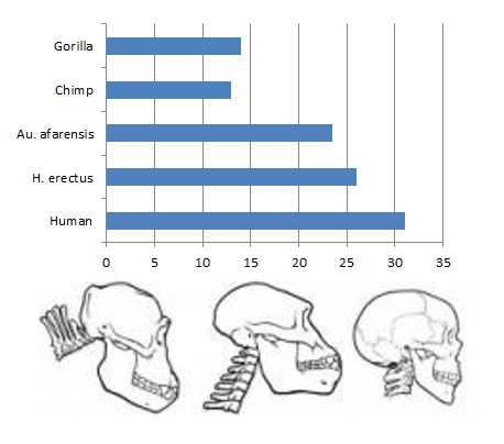 A graph of the location of the foramen magnum and a diagram of its orientation (Australopithecus is the middle image)