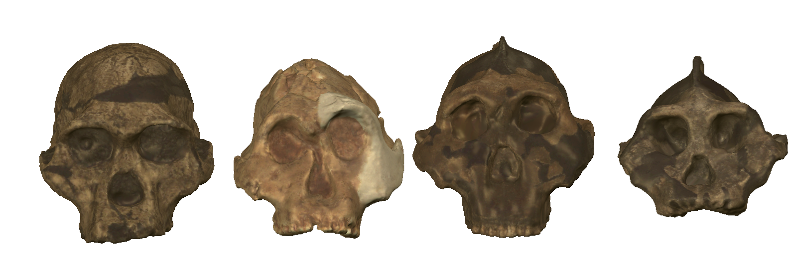On the left is Australopithecus,