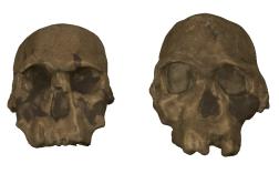 Homo rudolfensis (right) and Homo habilis (left)