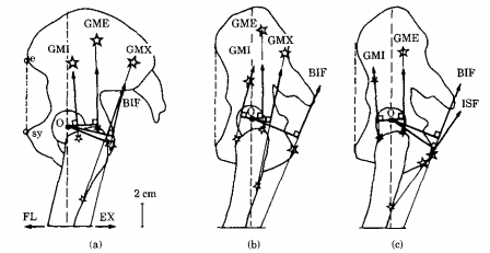 The 1994 reconstruction showing the muscles in a human (left), Lucy if she had human muscles (midlde) and Lucy if she had ape muscles