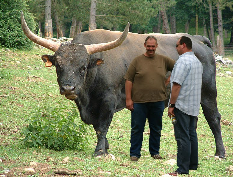 An auroch, the ancestor of modern cattle. Note how bloody massive they are