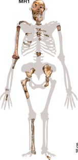 MH1; one of the Australopithecus sediba skeletons found