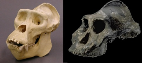A gorilla skull (left) and Paranthropus aethopicus skull (right). Key similarities include a crest on-top of the skull, flared cheekbones and large mandible (not shown)