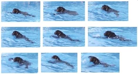 swimming chimp