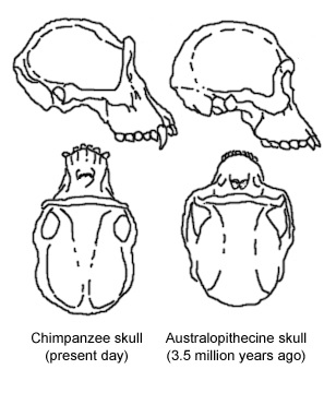 Australopithecine and chimp skulls, showing just some of the similarities between the two