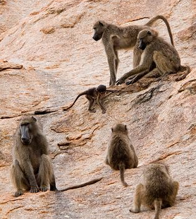 Living in the cliffs is how modern Savannah dwelling primates, like these baboons, survive