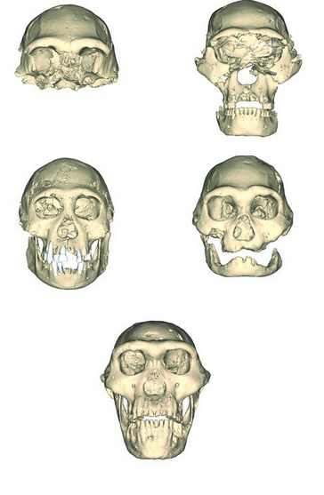 The skulls from Dmanisi. D4500 is the bottom one.