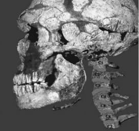 A Neanderthal skull and hyoid bone (shown beneath the skull)