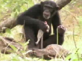 A chimp eating prey she killed with a spear. The beginning of the end for humans?