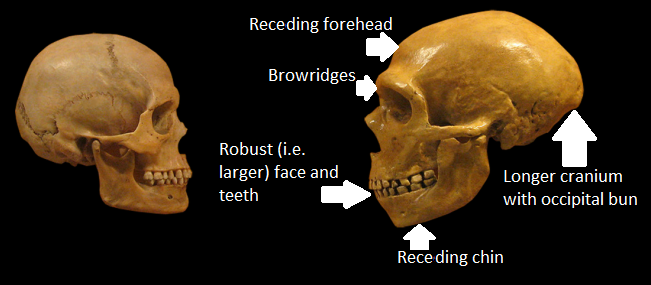 Bits of the skull that separate humans (right) from Neanderthals (left).