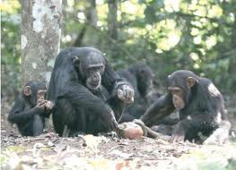 Chimps cracking nuts