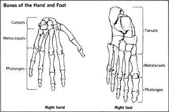 The big difference is that foot bones are called tarsals but hand bones are called carpals.