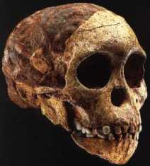 Taung, the first Australopithecus discovered, had an endocast