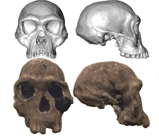 The reconstructed skull (top) and the original (bottom). Note, they're probably not exactly to scale because my photo-editing skills suck