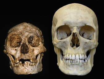 A hobbit skull compared with a human