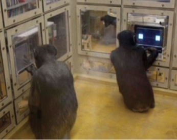 Chimps playing the game