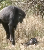 Chimpanzee grief? An adult stands over a recently deceased child